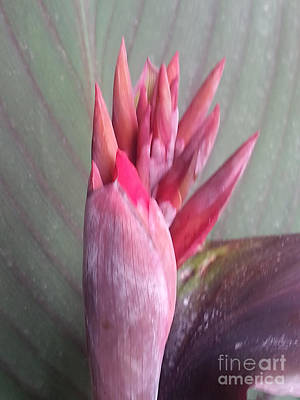 Red Canna Lily Print by Manuel Matas