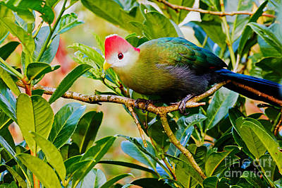 Red-crested Turaco II Print by Nick  Biemans