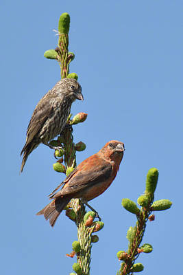 Crossbill Photograph - Red Crossbill Pair by Alan Lenk