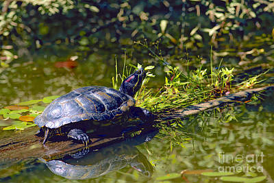 Pond Turtle Photograph - Red Eared Slider Turtle With Reflection by Sharon Talson
