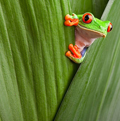 Tree Frog Photograph - Red Eyed Tree Frog  by Dirk Ercken
