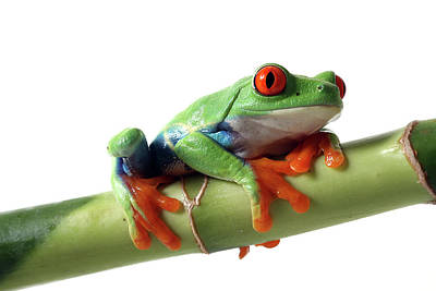 Tree Frog Photograph - Red-eyed Tree Frog by Mlorenzphotography