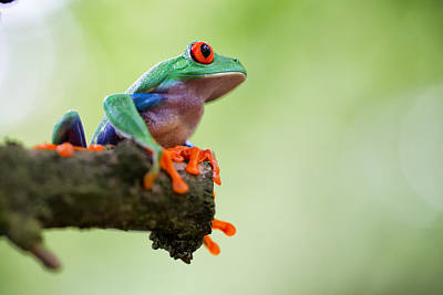 Red Eyed Tree Frog Sitting Print by Dirk Ercken