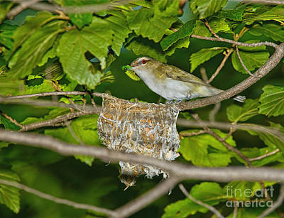 Red-eyed Vireo And Nest Print by Timothy Flanigan