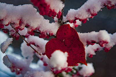 Nature Photograph - Red Fall Leaf On Snowy Red Berries by Jeff Folger
