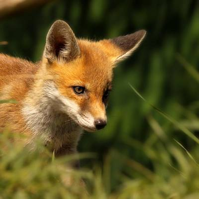 Red Fox Cub In The Grass Print by Chris Jolley