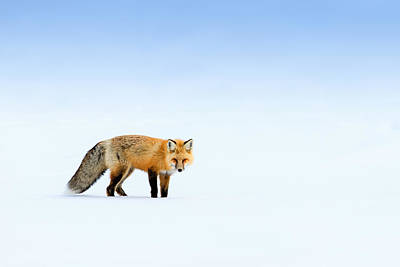 Photograph - Red Fox by Doug Oglesby
