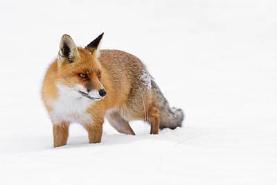Red Fox In Kneedeep White Snow Print by Roeselien Raimond