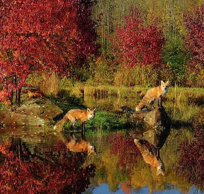 Fox Photograph - Red Foxes At Waters Edge Staring Out With Firey Red Maple Trees  by Reimar Gaertner