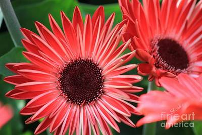 Daisies Photograph - Red Gerbera Daisy by Sharon Johnston