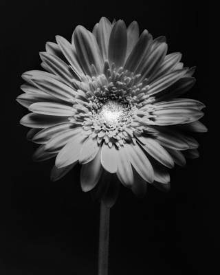 Red Gerbera In Black And White Print by George Oze