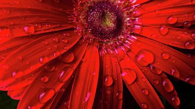 Photograph - Red Gerbera by Jacqueline Schreiber