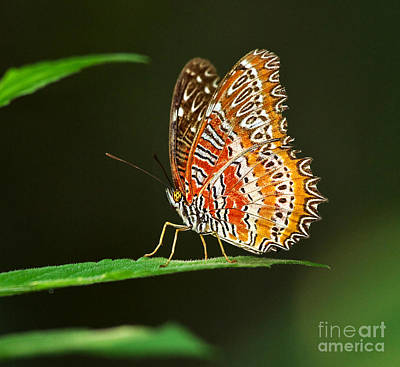 Lacewing Photograph - Red Lacewing Butterfly by Louise Heusinkveld
