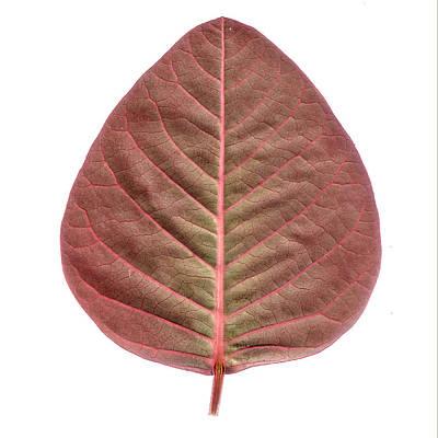 Pattern Photograph - Red Leaf by Sumit Mehndiratta