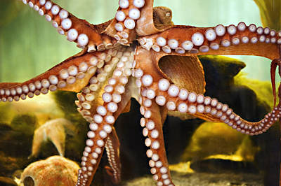 Octopus Photograph - Red Octopus by Marilyn Hunt