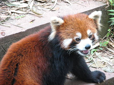 China Photograph - Red Panda by Carla Parris