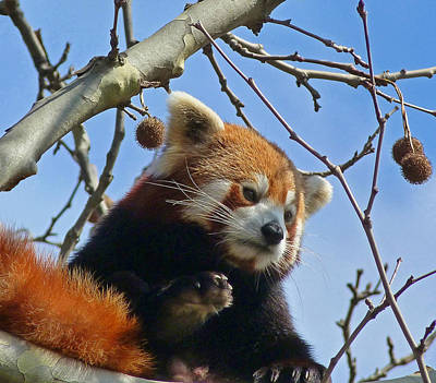 Red Panda Exploring Print by Margaret Saheed