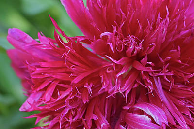 Floral Photograph - Red Peony 2 by Nancy Aurand-Humpf