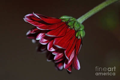 Flower Photograph - Red Petals by Carolyn Brown