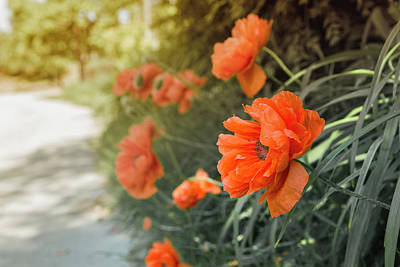 Weekend Photograph - Red Poppies by Thubakabra