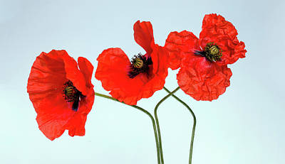Blue Photograph - Red Poppies  by Wall Art Prints