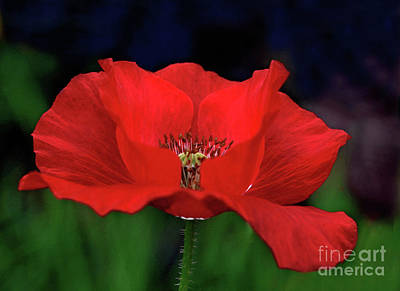 Photograph - Red Poppy by Gary Wing