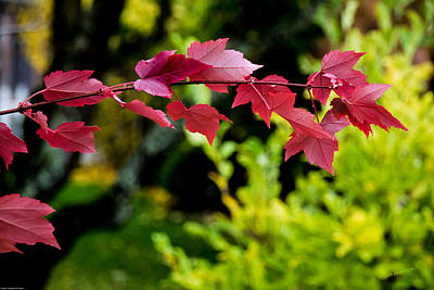 Red Red Maple Leaves Print by Mick Anderson