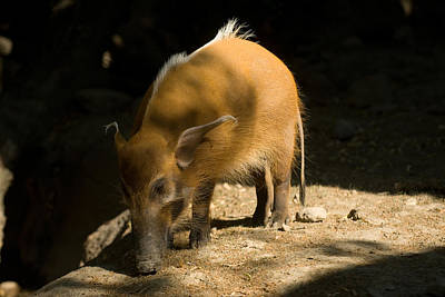 Henry Doorly Zoo Photograph - Red River Hog At Omahas Henry Doorly by Joel Sartore