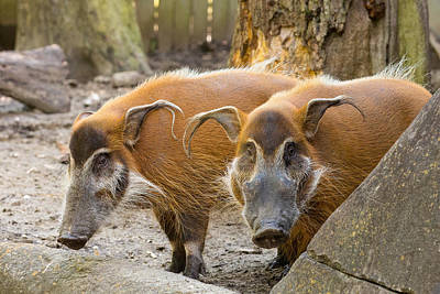 Animals Photograph - Red River Hogs by Allan Morrison