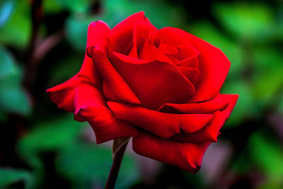 Red Rose 2 Print by Az Jackson