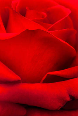Red Rose Petals Print by Az Jackson