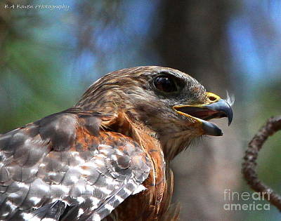 Red Shouldered Hawk - Profile Print by Barbara Bowen