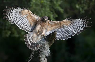 Red-shouldered Hawk Photograph - Red Shouldered Hawk 2 by Wade Aiken