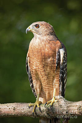 Red Shouldered Hawk Profile Print by Sharon McConnell