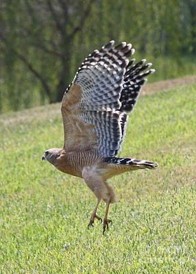 Red-shouldered Hawk Photograph - Red-shouldered Hawk Takeoff by Carol Groenen