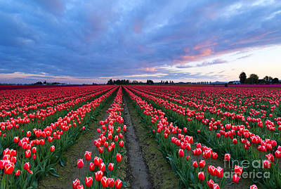 Skagit Photograph - Red Sky Over Tulips by Mike Dawson