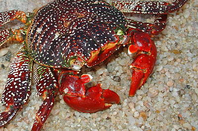 Photograph - Red Spotted Crab by Karon Melillo DeVega