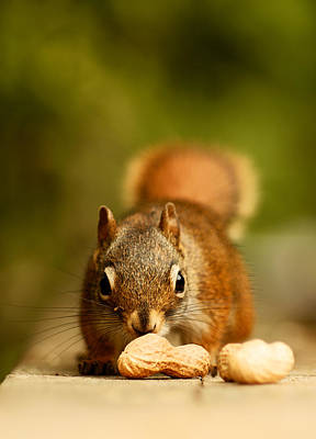 Squirrel Photograph - Red Squirrel   by Cale Best