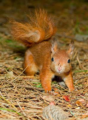 Red Squirrel 2 Original by Gary Maynard