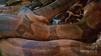 Photograph - Red-tail Boa by Liane Wright