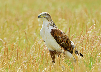 Red Tail Hawk Print by James Steele