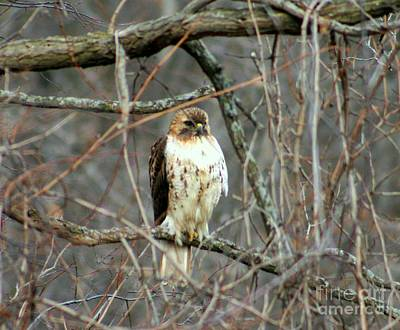 Red Tail Hawk Print by Kay Novy