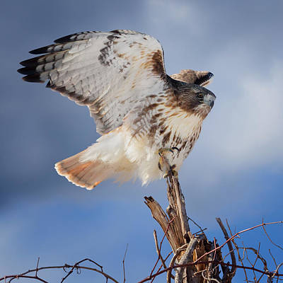 Red Tail Hawk Perch Print by Bill Wakeley