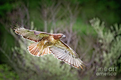 Red Tail Hawk Photograph - Red Tail In Flight by Todd Bielby
