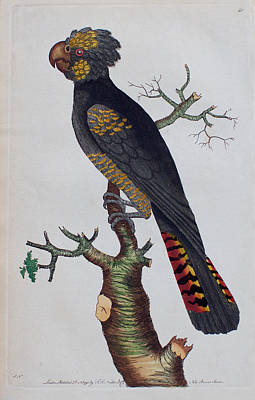 Cockatoo Drawing - Red-tailed Black Cockatoo 1790 by Nodder