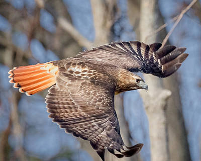 Red Tailed Hawk Flying Print by Bill Wakeley