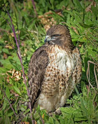 Red Tail Hawk Photograph - Red-tailed Hawk On The Ground by Loree Johnson