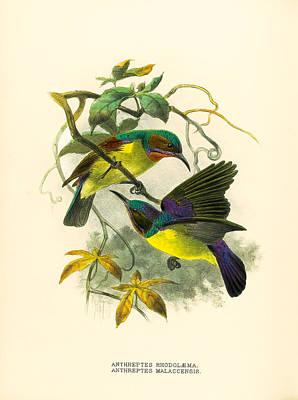John Gerrard Keulemans Drawing - Red-throated And Brown-throated Sunbird. Anthreptes Rhodolaemus And Anthreptes Malacensis by John Gerrard Keulemans