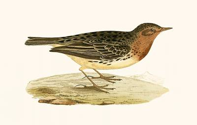 Red Throated Pipit Print by English School