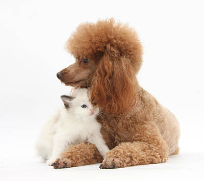 Red Toy Poodle And Kitten Print by Mark Taylor